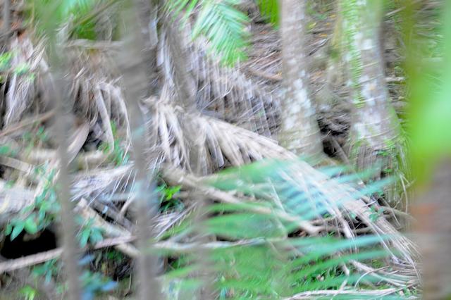 "Jungle home of the ""Buderim Beast"""