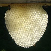 When Things Go Wrong - dealing with cross-combing in a top bar hive