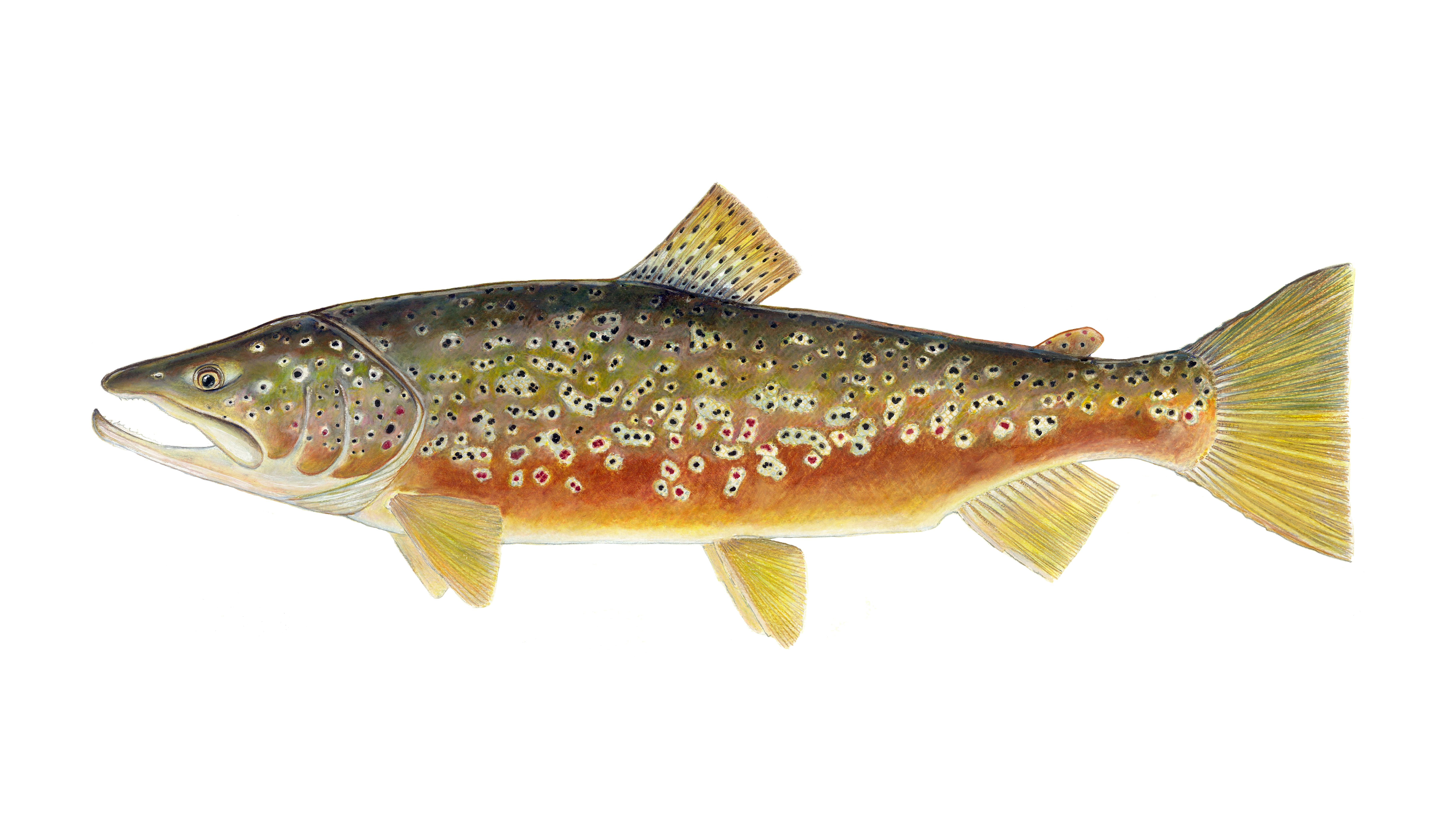 Brown Trout by Karen Talbot
