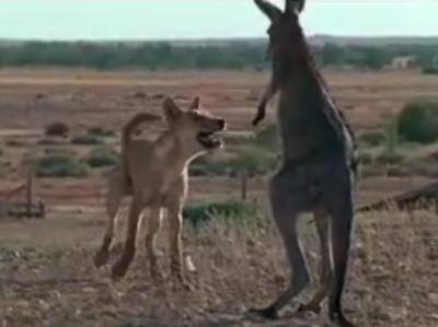 Kangaroos and Dingos