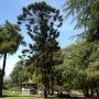 Artwork for Bunya-Bunya Tree