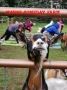 Artwork for 087 Goat Yoga with Lee Dobbins