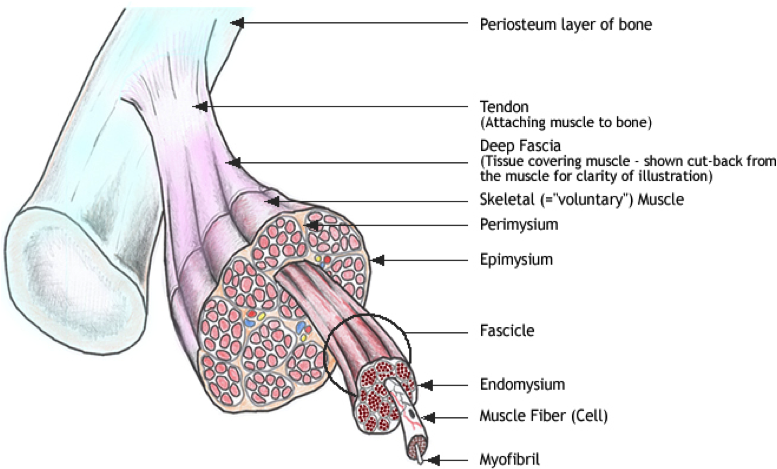 What is The Fascial Organ And How Does It Affect Your Performance?