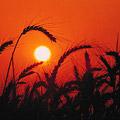 Bumper 2011 Grain Harvest Fails to Rebuild Global Stocks
