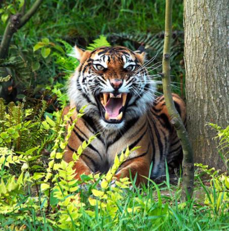 Mongabay Explores Sumatra: Tiger on the highway