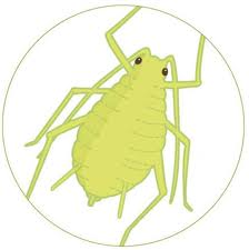 Aphid Management in Your Garden