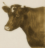 Old time photo of cow looking at the camera