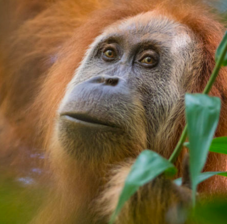 Mongabay Explores Sumatra: Will the world's newest great ape species face a dammed future?