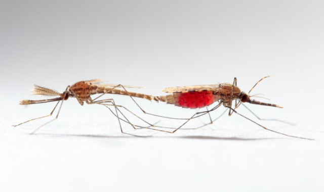 Sexual trait evolution in mosquitoes and a news roundup