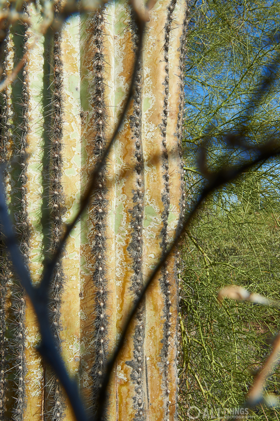 saguaro through brittlebrush