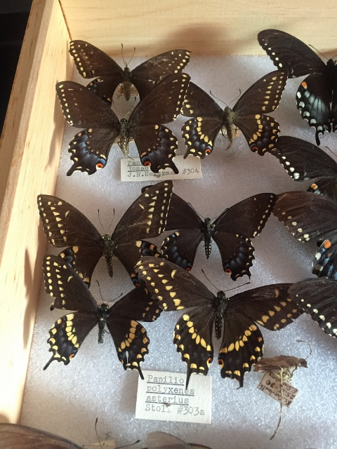 Papilio jonae (on top)