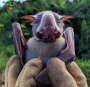 Artwork for Bats and Ebola: studying fruit bats to prevent future outbreaks