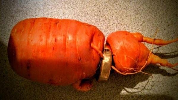 German man's lost wedding ring around a carrot