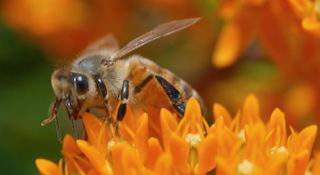 Honey Bee on a Asclepias tuberosa (Butterfly Milkweed)