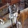 Artwork for 25: Greyhound Week: Lucienne Bouvier, Cricket & Thor