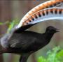 Artwork for Return of the amazing superb lyrebird