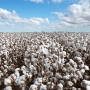 Artwork for Cotton Planting Amid Covid-19: Lessons From the US