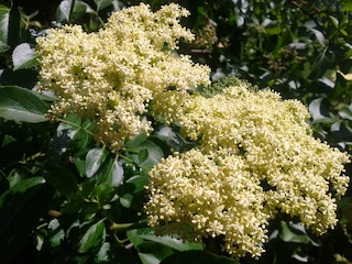 Nature's Medicine Chest- Elder (Sambucus)