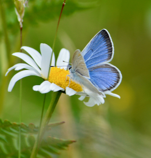 Male Blue Puget blue Butterly - copyright © Rachael Bonoan