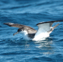 Artwork for Seabird secrets revealed by bioacoustics in New Zealand