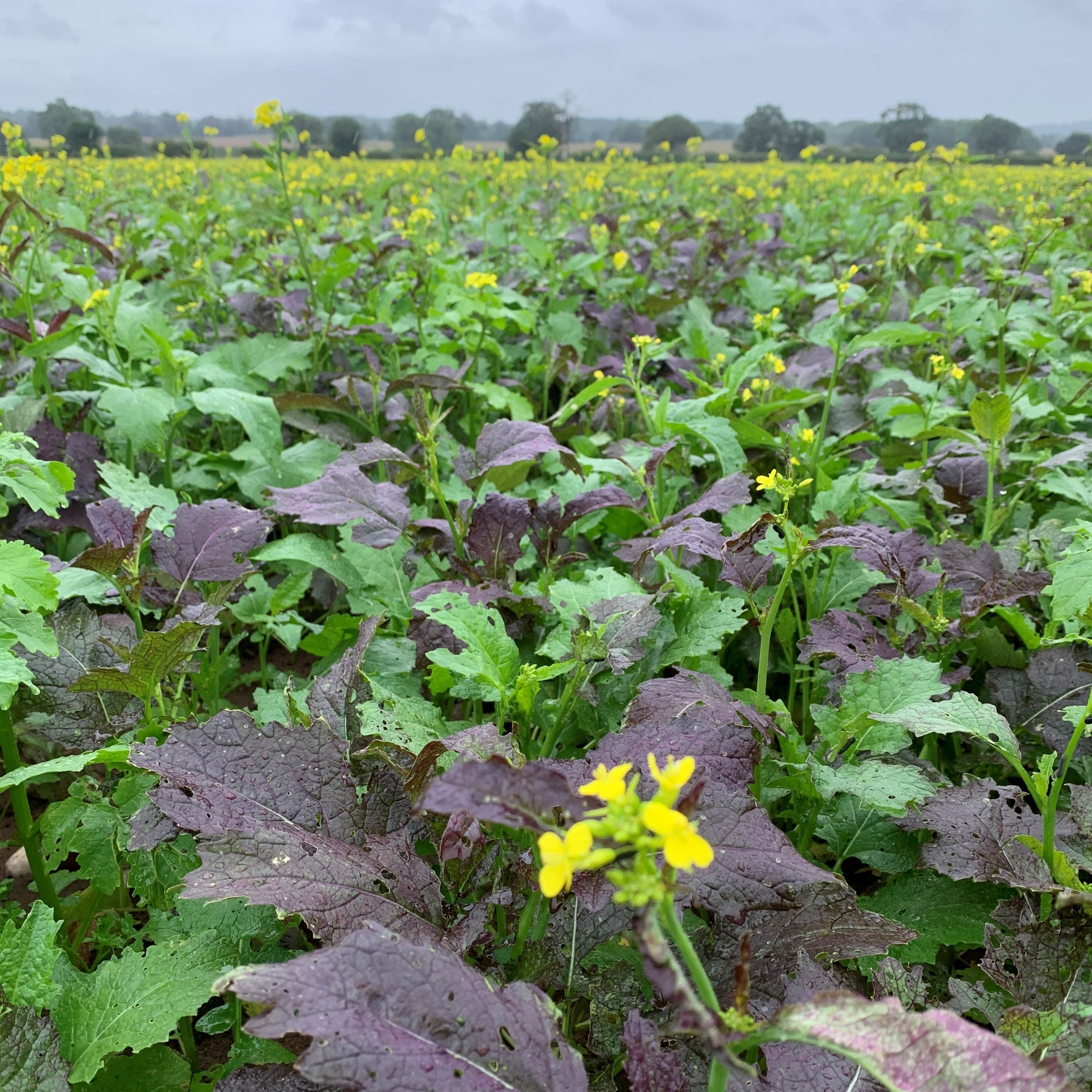 Agroecology in Focus - Biofumigation