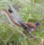 Artwork for The amazing song skills of the superb lyrebird