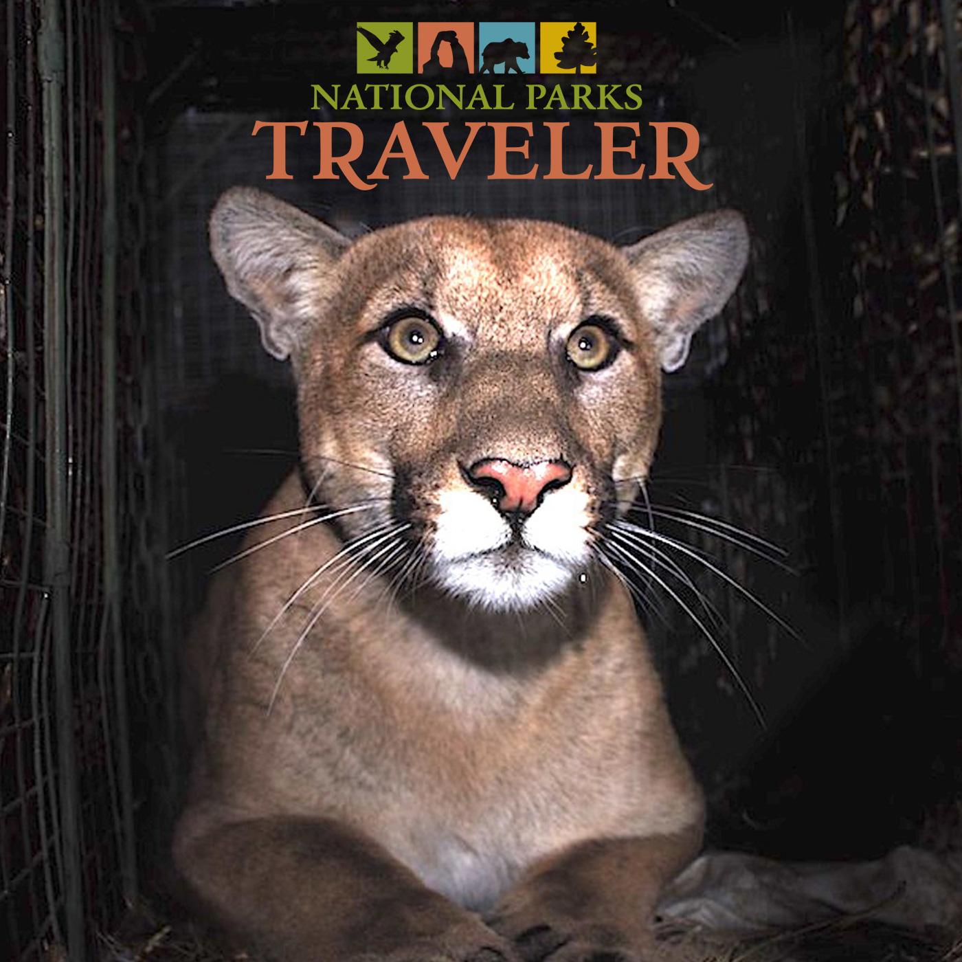 Artwork for National Parks Traveler: Saving Santa Monica Mountains' Mountain Lions