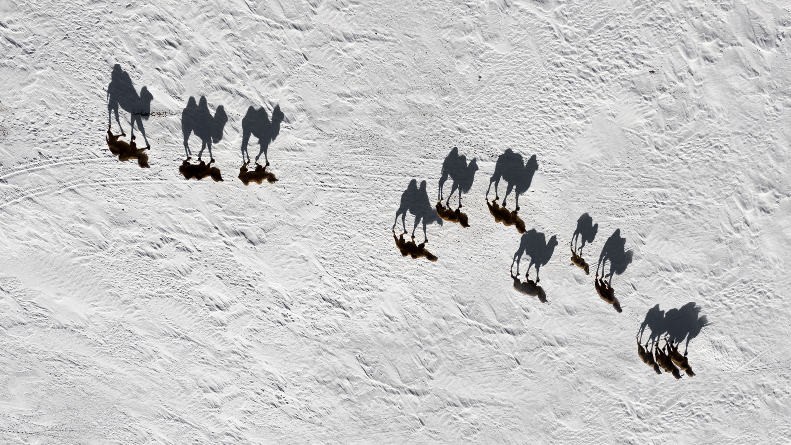 Drone Camels