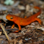 Artwork for Mongabay Explores the Great Salamander Pandemic, Part 1: Are we ready?