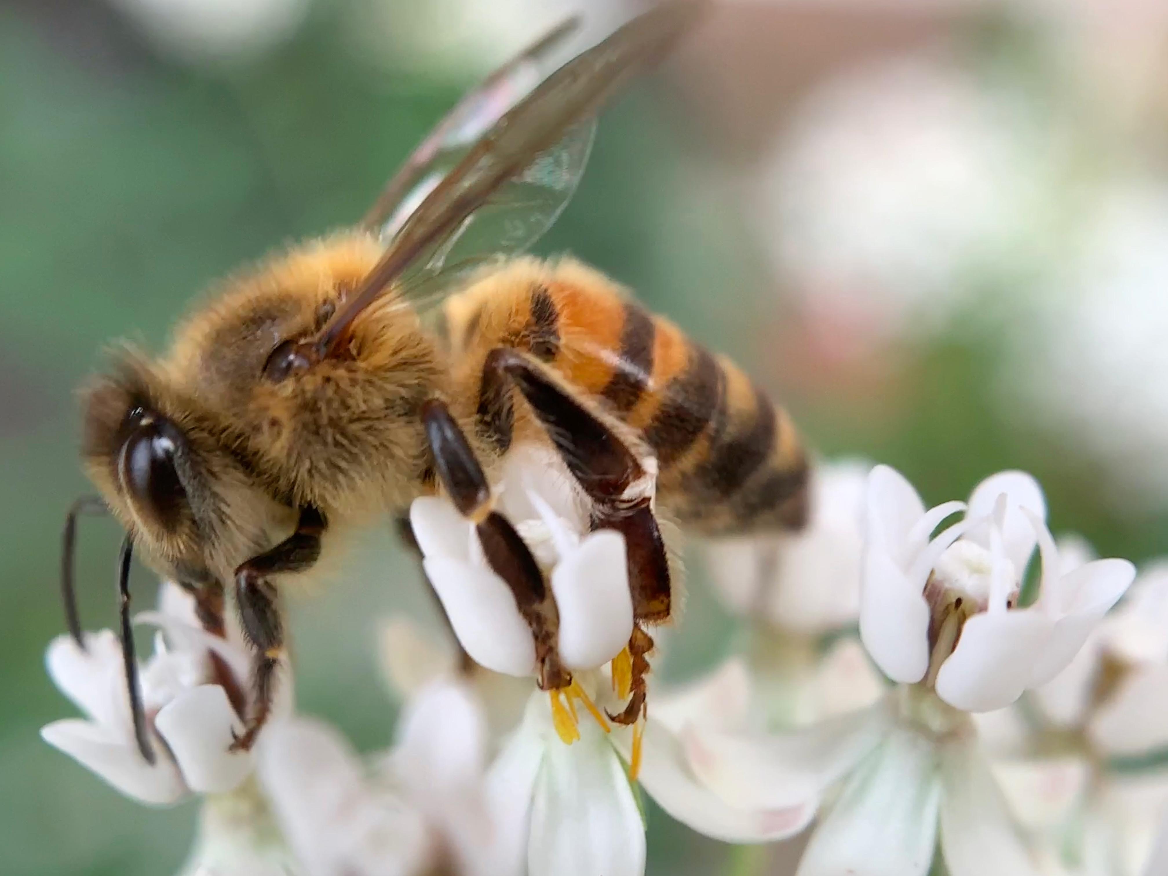 Western honey bee pollinating Arizona milkweed