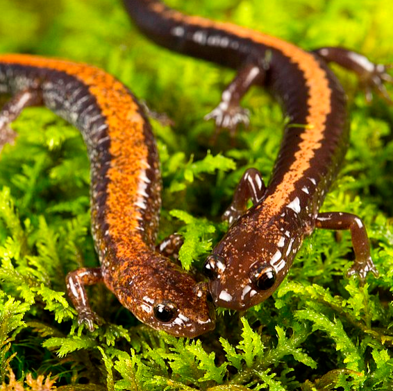 Mongabay Explores the Great Salamander Pandemic, Part 5: Policy possibilities?