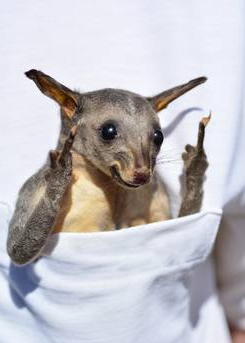Rude Brushtail Possum