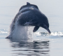 Artwork for Studying secretive humpback dolphins through sound