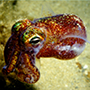 Artwork for Bacterial symbiosis with bobtail squid