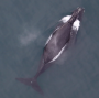 Artwork for Right whales discovered singing for the first time: new recordings