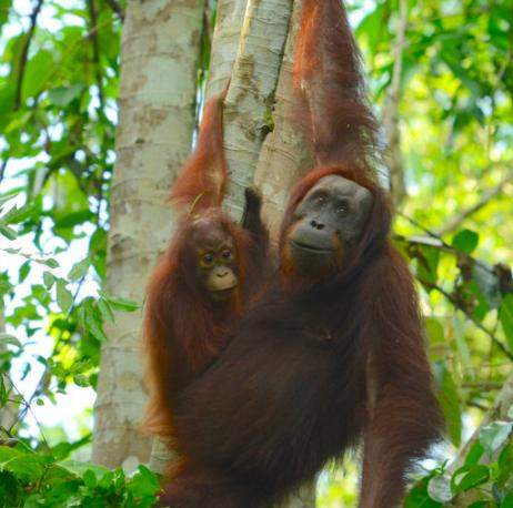Mongabay Explores Sumatra: Omens and optimism for orangutans