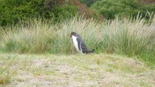Yellow-eyed penguins at Penguin Place NZ
