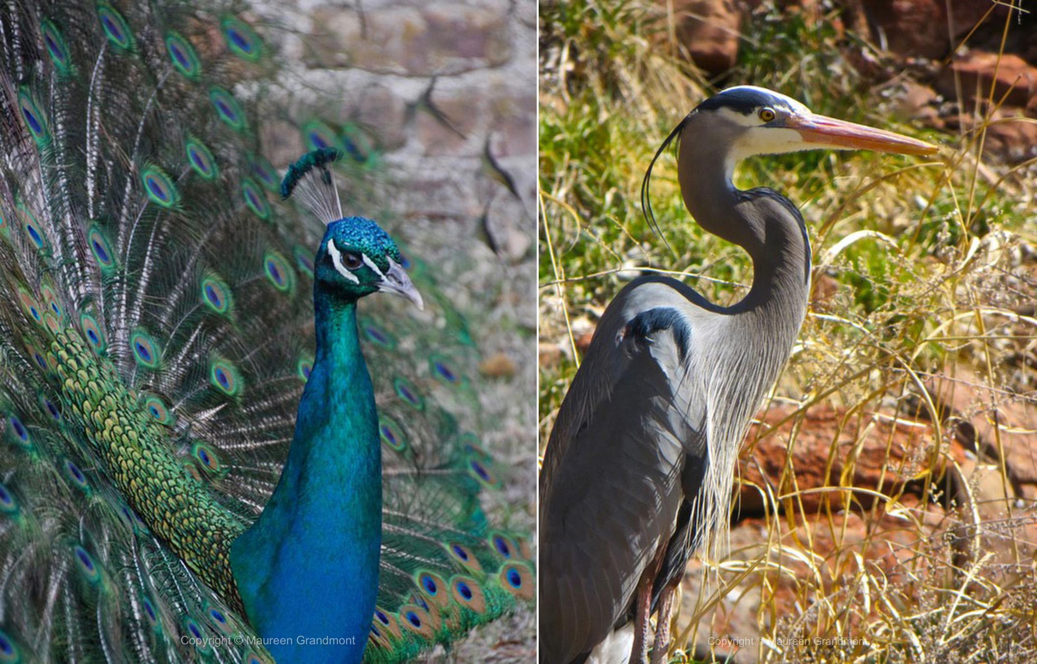 peacock heron