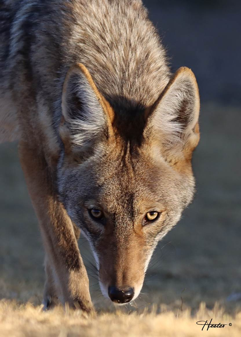 coyote face by Sheryl Hester