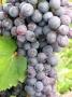 Artwork for Ep 244: The Grape Miniseries -- Nebbiolo
