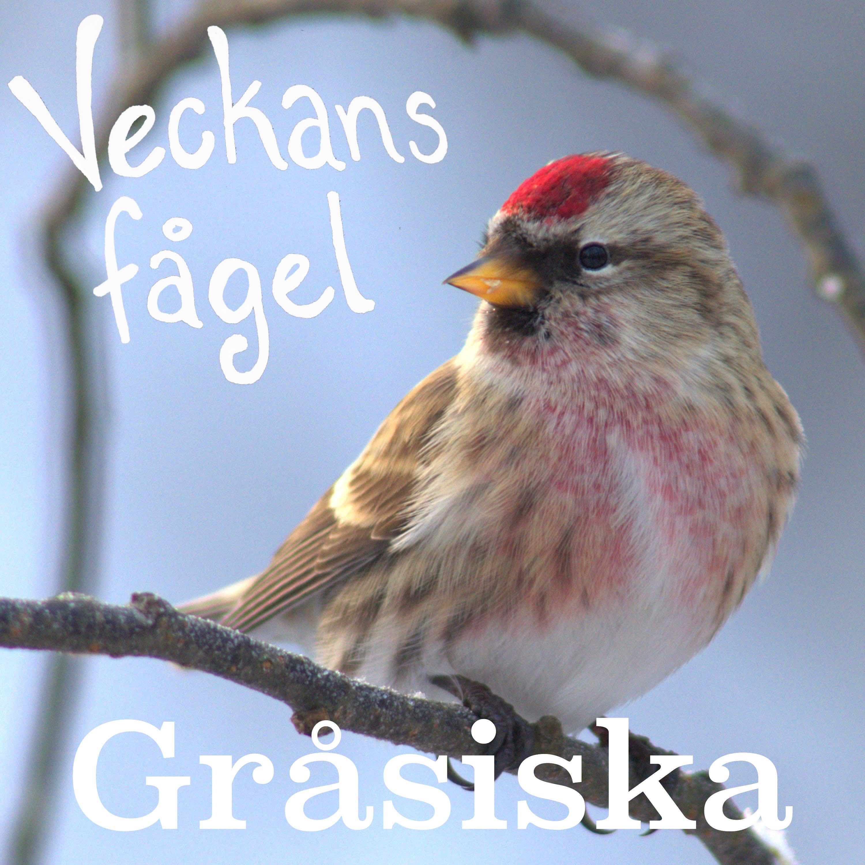 Gråsiska