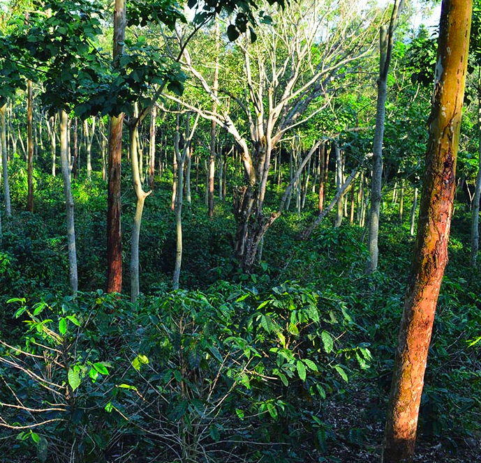 Can coffee fix the climate? Agroforestry is having a moment