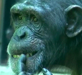 0006 - MarylandZoo.TV - Chimpanzees
