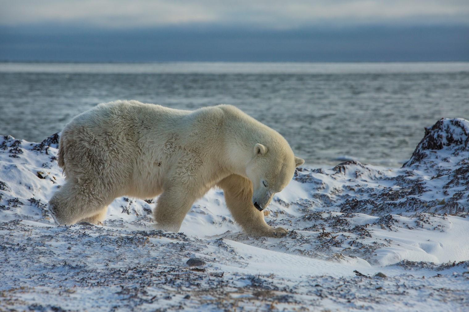 Polar Bear before Topaz AI