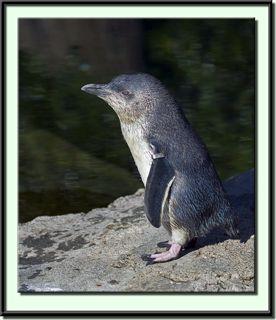 Little Blue Penguin Colony