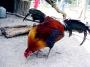 Artwork for City Chickens