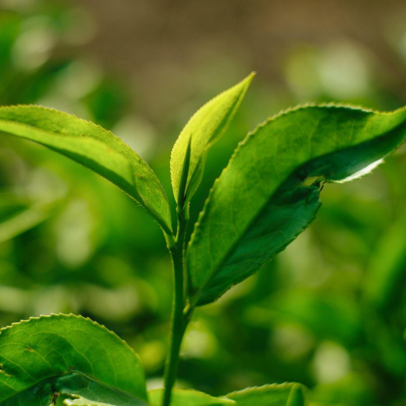 Where to Buy Camellia Sinensis (Tea) Plants?